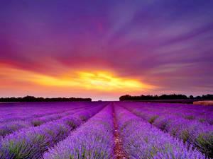 Aroma Flow Yoga - lavendar field.jpg