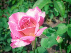 Carousel image 37f64ba92a2e84623fc5 rosegarden 14