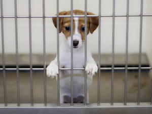 Carousel_image_4fe79f597d4f4184f307_puppies-caged-1