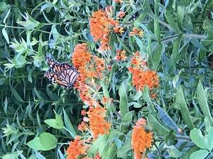 Carousel_image_5c1a01013ef88b9323f5_monarch_and_butterfly_weed___img_2835