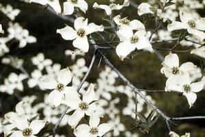 Carousel_image_626d49b7758030c477d1_2897f6fefc1bbcdf9942_arbor_day_flowering_dogwood__credit_usda_
