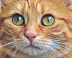 Carousel_image_6fc646c91a889af0c164_orange-cat-face
