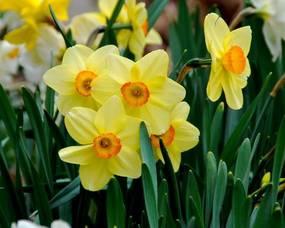 Carousel image 74c80cc69d5458ccda2c daffodils