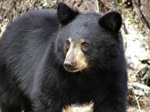 Carousel_image_799a96db566deae21bc4_black_bear
