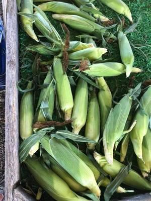 Carousel image 7dd829c70f3d690e99a9 fairfield farm corn