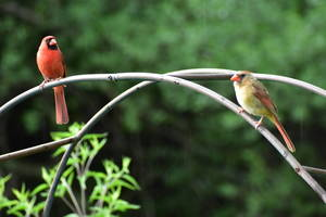 Male and female cardinal.
