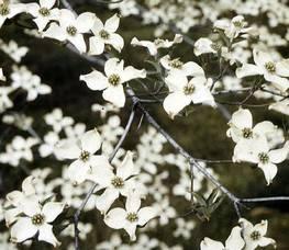 Carousel_image_86ab831860dd76619cf1_flowering_dogwood_via_usda