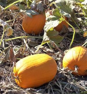 Carousel_image_870bd5db3d9d00cf62aa_pumpkins