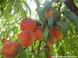 Carousel_image_98fed99fe61cb5cad0a7_peaches__2018_tapinto_montville
