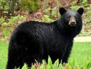 Carousel_image_a32ddcaab6f677bc3fc9_black_bear