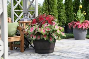 Carousel image a7cdc36b0d4ebb56b6ea caladiums in container photo credit longfield gardens.com