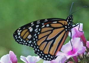 Carousel_image_ad96bbbfc2116843dfed_sompixmonarchbutterfly