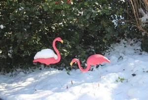 Carousel image b23a9c5b98ac7ad665e8 flamingos snow dec 10 2017