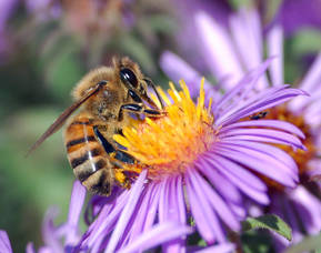 Carousel_image_b3820ccda40d242a48f1_honey_bee_extracts_nectar