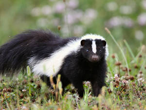 Carousel_image_b54641bd8f5745fc2038_striped_skunk_jacob_dingel