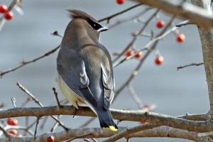 Carousel_image_c2b811580a47c168e9f9_trailside_talks_2017__world_of_birds__cedar_waxwing_