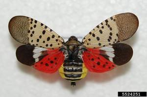 Carousel_image_d238ee53603120c93b30_spotted_lanternfly
