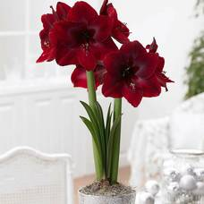 Carousel image d5554489c831ebf802c4 amaryllis red pearl photocredit longfield gardens