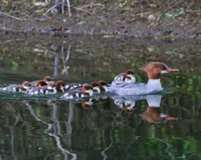 Mama Merganser and Ducklings