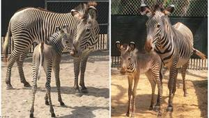 Carousel image e7acba8ef9ccce5a4a60 zebra foals may2018 1 750x425