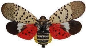 Carousel_image_ec16cf7d7793795fa692_spottedlanternfly
