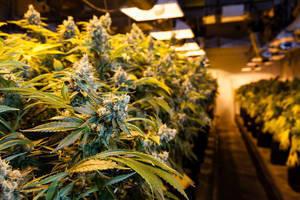 Carousel_image_ef22be7a4e7a0a24a50a_marijuana