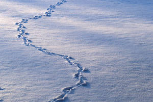 Carousel_image_ef4d88edb70827b4b177_03238a6c0482d996ae29_animal-tracks-in-snow
