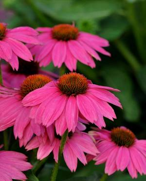 Carousel image f708c9b474ad529bc271 echinacea powwowwildberry primary 2010aas