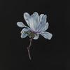 Small_thumb_d7964ea6a5ea0a4ca74f_star_magnolia_sfn