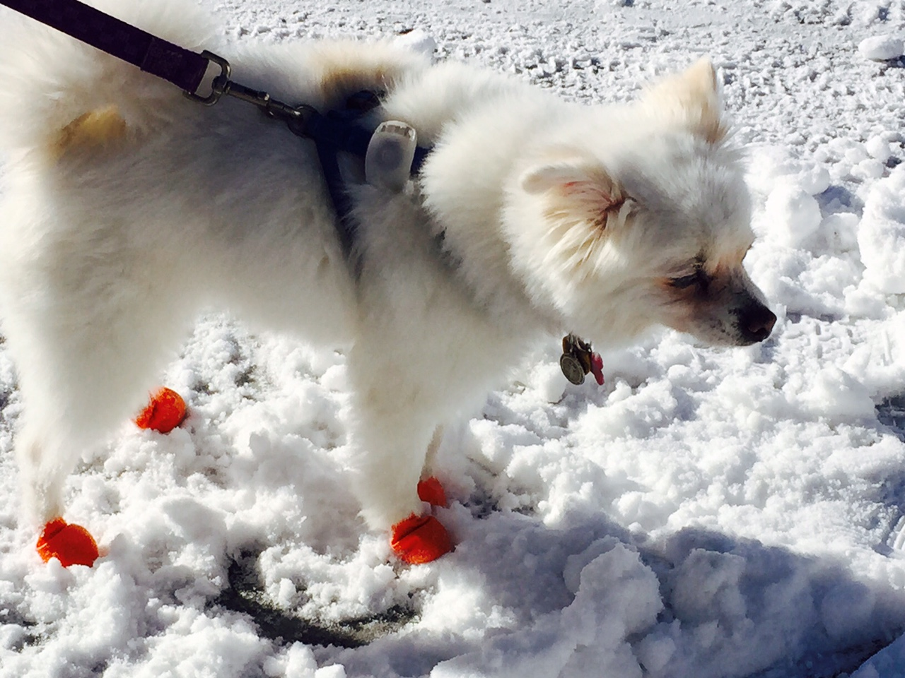 7ddd1ccc9a46270fd322_Dog_with_booties.jpg