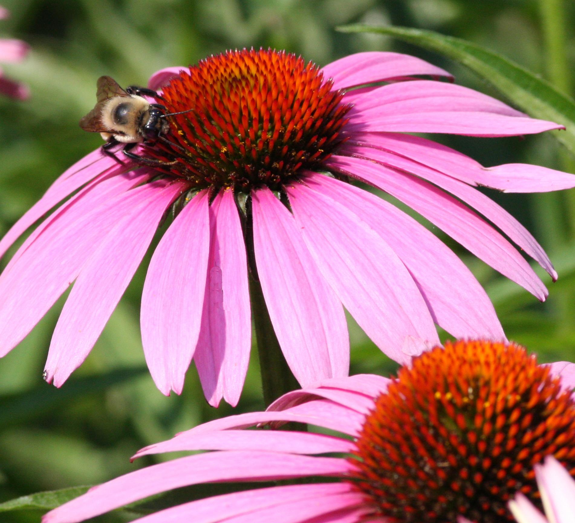 3dac7a068360b98ab5f7_purple_cone_flower.jpg