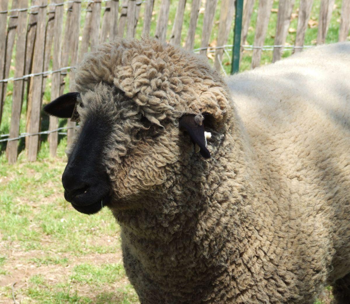 adbb9507e5a820016e85__sheep2.jpg
