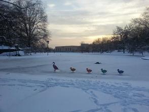 Duck Pond fake ducks
