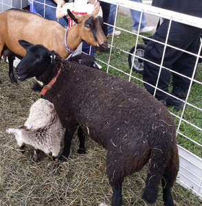 Some of our barnyard friends at the fair