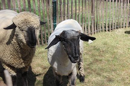 81f31a95215d7ae45000_8e22bce965fdbb42eba1_Robinson_Museum_Sheep_4.jpg