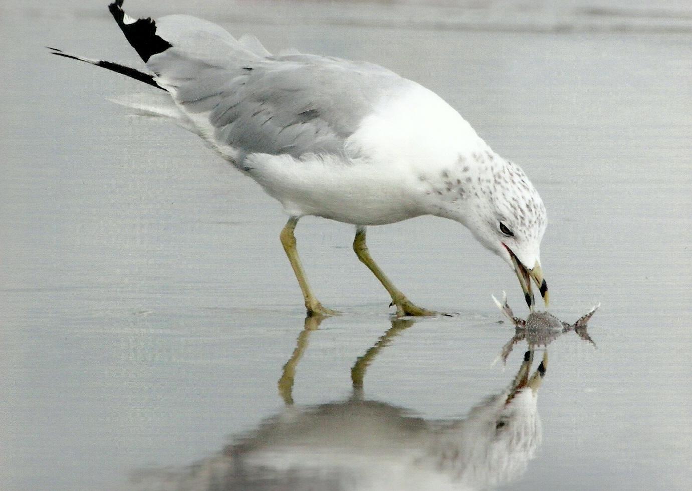 0e24127afcff63af844d_Adult_third_Thomas_Lynaugh_Kenilworth_Ring-billed_Gull_with_Crab.jpg