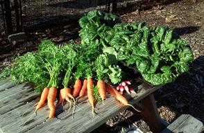 Carousel_image_57b045c4c92578ff4aae_2015_community_garden_harvest