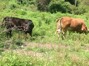 A rare treat; cows come in from the fields for a visit.