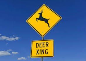 Morris County Motorists Should be on the Alert During Deer Rutting Season, photo 1