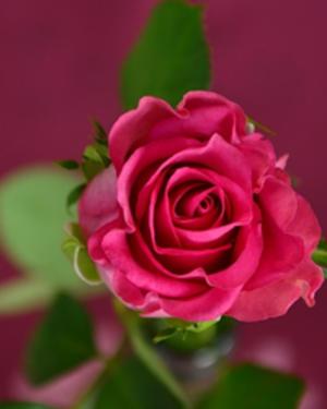 Obituary_3033e05c97d71c7ca516_pink_rose_panel