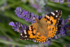 Obituary_eab27249695c5ffe25cd_painted_lady_butterfly