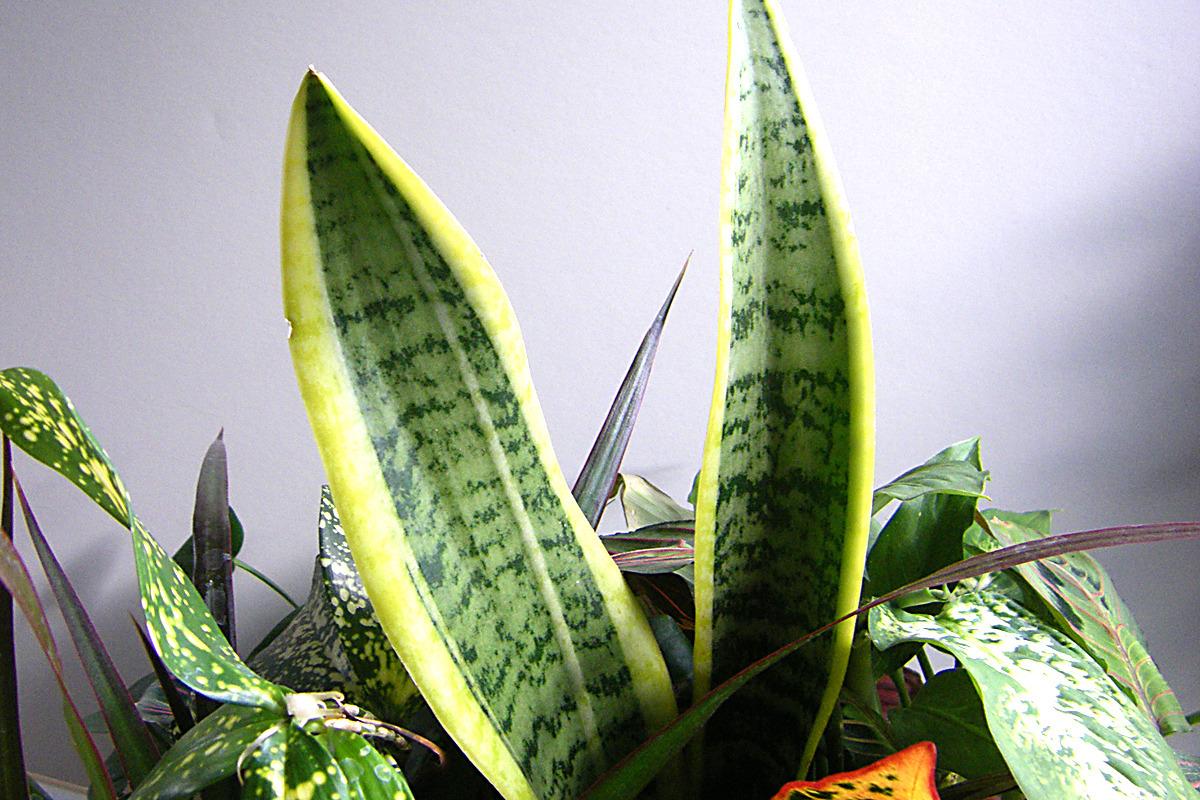 55aa8300cfff43f7bbef_snake_plant.jpg