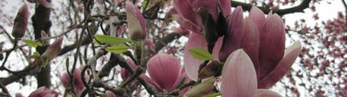 8e3dda70f88125ed24fd_magnolia.jpg