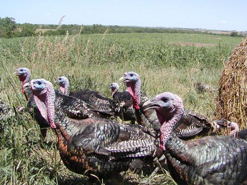 cd3f723869e0fa0329e0_turkeys.jpg