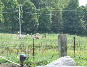 Horses grazing on Diane Romano's property.