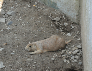 A Prairie Dog enjoys the summer warmth.