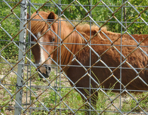 An Assateague Pony at the zoo.