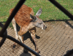 A red kangaroo who lives at the zoo, is an expectant mother.