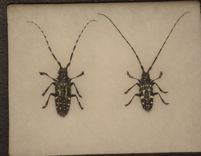 Asian Longhorned Beetles brought to the council meeting to show to the public.