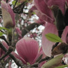 Small_thumb_1d5720a3311205acce1d_magnolia